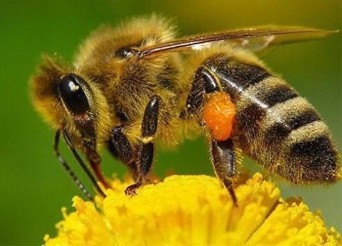 Пчелы в парниках: как привлечь?