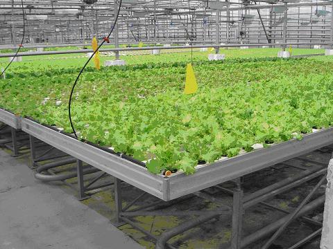 Детали по выращиванию зелени в теплице