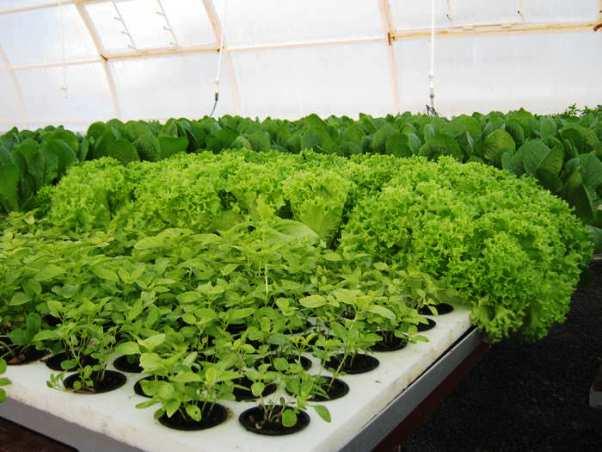 Как вырастить салат в зимний период