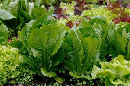 Салат в парниках, выращивание
