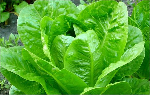 Уход за салатными растениями