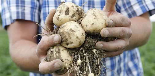 Если применять гербициды на картофельных грядках регулярно – обработка даёт результаты.