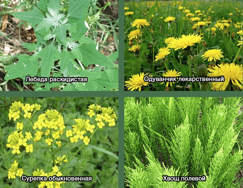 Наиболее часто встречающиеся виды сорняков