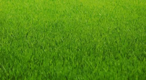 Так должен выглядеть газон при правильной обработке и уходе