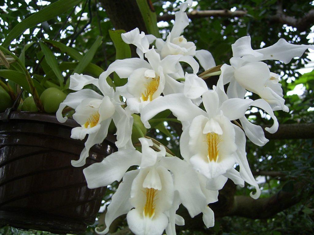 А вот орхидея из семьи Целогина, с волнистыми лепестками белоснежных цветков