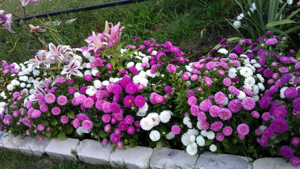 Астра Королевская карликовая, бордюрная, хорошо подходит для украшения вдоль садовых дорожек