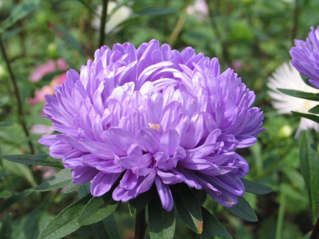 Астра Вайлеттурм, пионовидная, с нежным сиреневым цветком