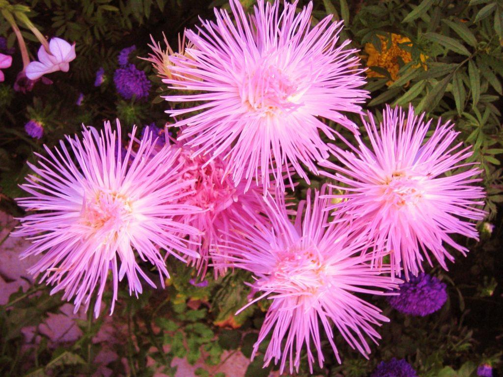 Астра Восторг, лучевая или игольчатая, с нежно розовыми цветками