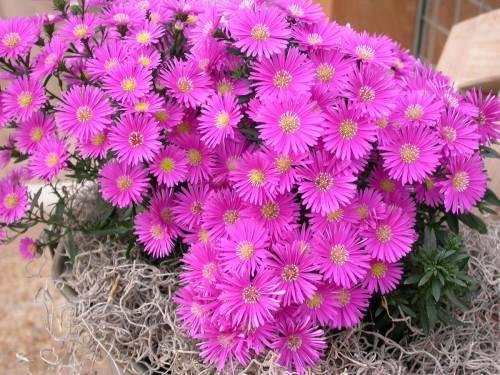 Астры могут быть как на высоких крепких стеблях с крупными цветками, так и в виде небольших кустарников с усыпанными небольшими цветками