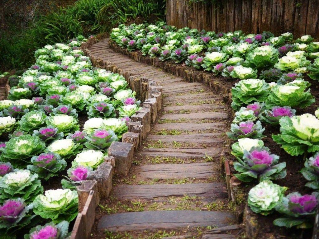 Декоративная капуста не только вкусна и полезна, с помощью неё можно украсить двор