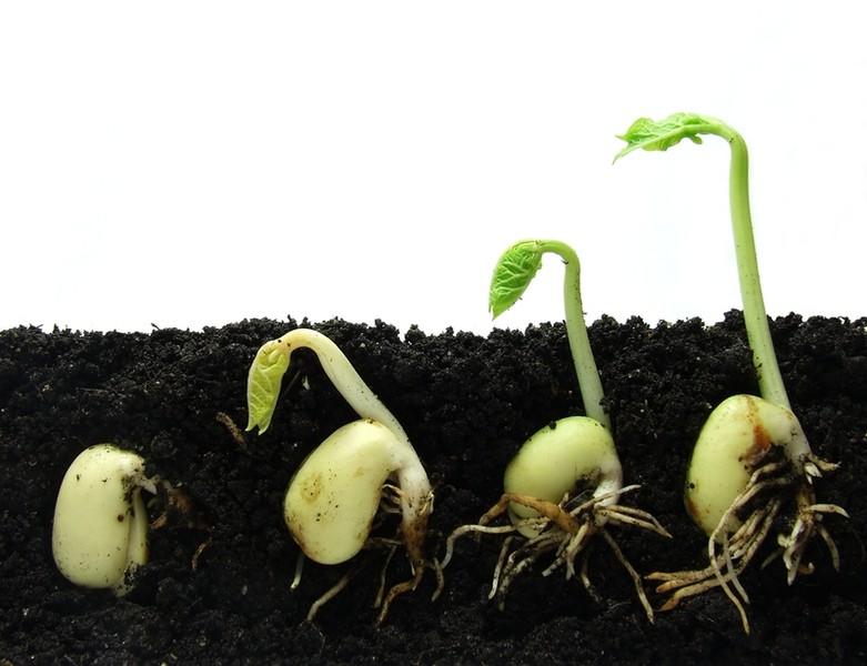 Этапы роста ростков капусты