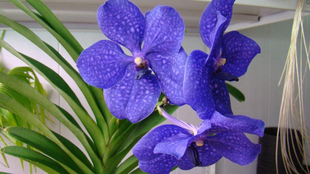 Голубая орхидея Ванда с белыми, чуть заметными пятнышками на нежных лепестках