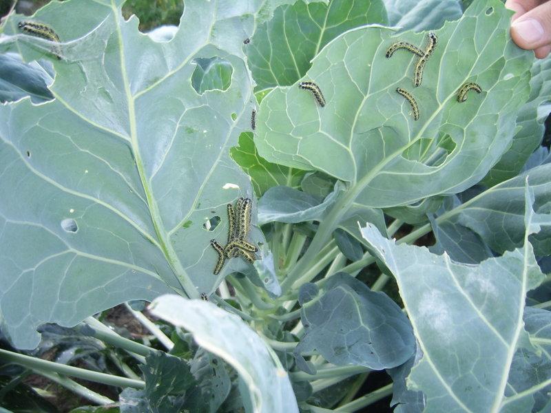Гусеницы-вредители на листьях брюссельской капусты