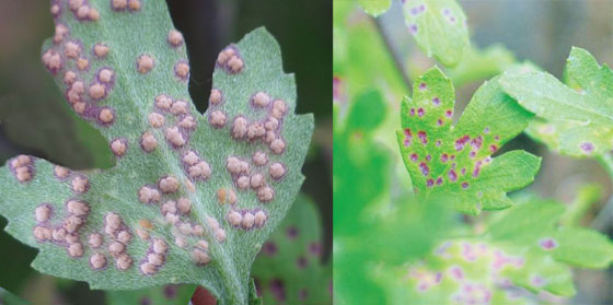Хотя астра и считается устойчивым цветком, она, к сожалению, тоже может заболеть или её атакуют вредные насекомые