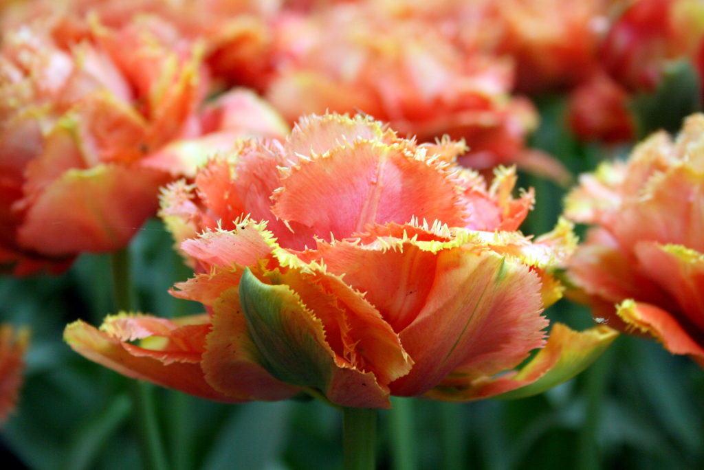 Иногда встречая красивый необычный цветок, мы пытаемся понять, что же это за растение, и какого же наше удивление, когда мы узнаём, что это тоже тюльпан
