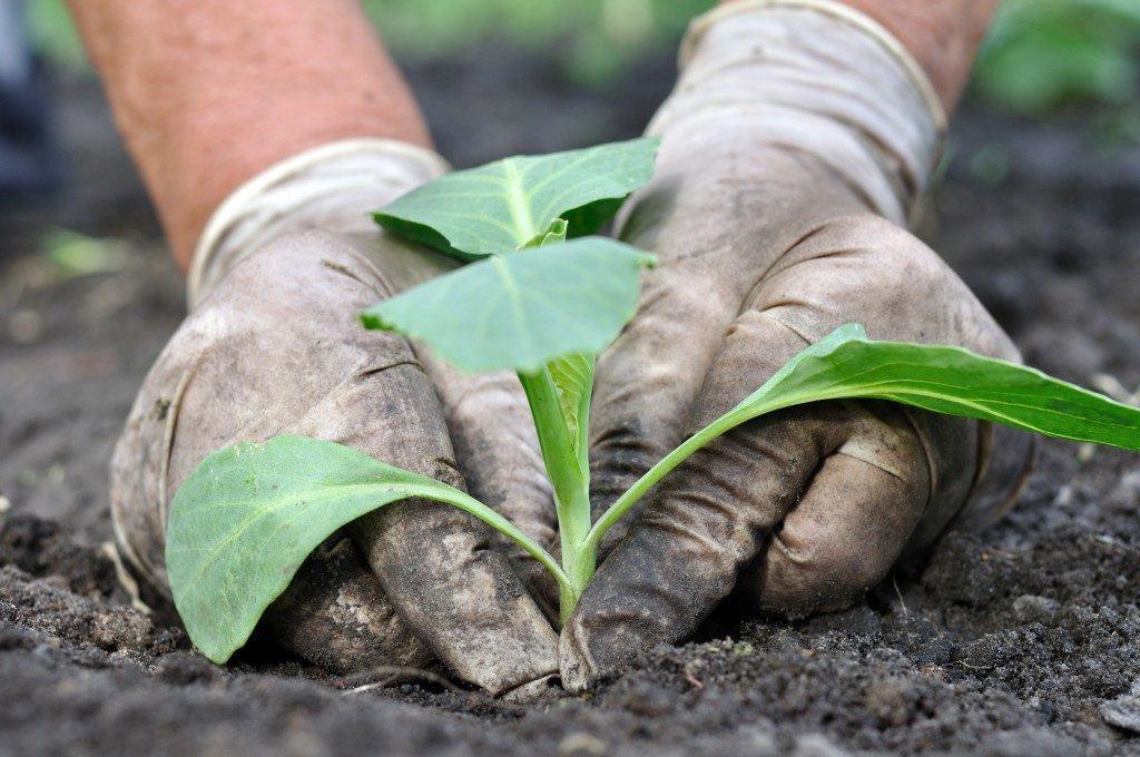 На фото, показан пример посадки рассады капусты в грунт