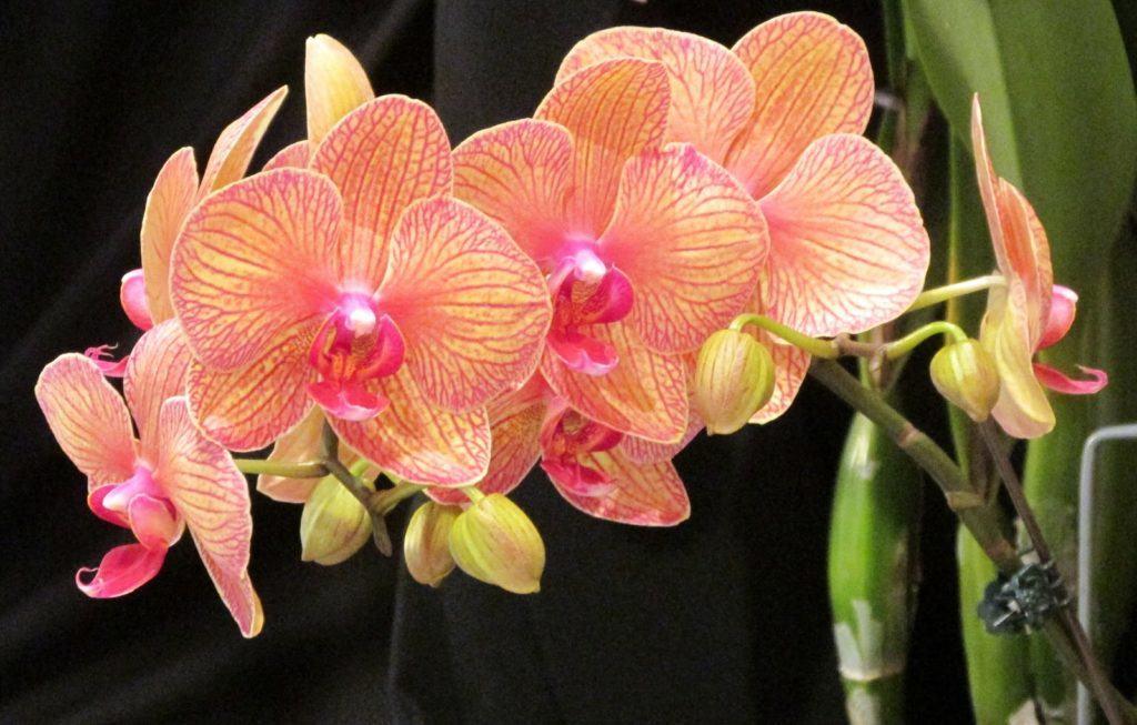 На фото, показана прекрасная орхидея фаленопсис очень необычной и интересной расцветки, такой цветок способен украсить любой дом или двор