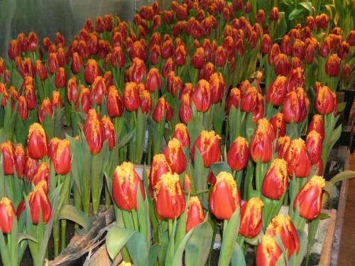 На фото показано выращивание тюльпанов в теплице к 8 март, так они именно те цветы, которые радуют женщин и напоминают нам, что пришла весна