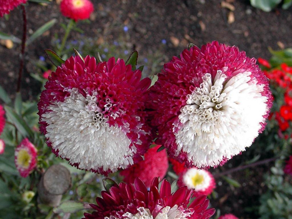 На фото представлена красавица астра с двухцветными пушистыми цветками
