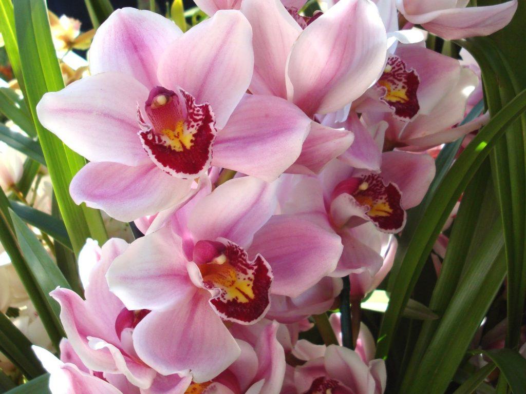 На фото представлена красавица орхидея с нежно-розовыми лепестками и более тёмной сердцевинкой, такой цветок понравится молодой романтичной особе