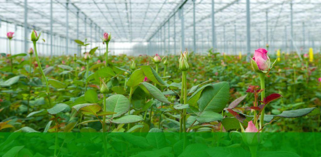 На фото представлены бутоны роз, растущих в теплице, которые через несколько дней превратятся в красавиц королев-цветов