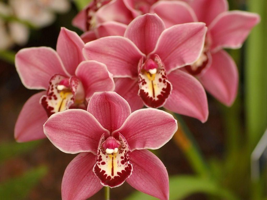 На фотографии представлены нежные цветки орхидеи в розовом цвете, с ярко выделенными прожилками