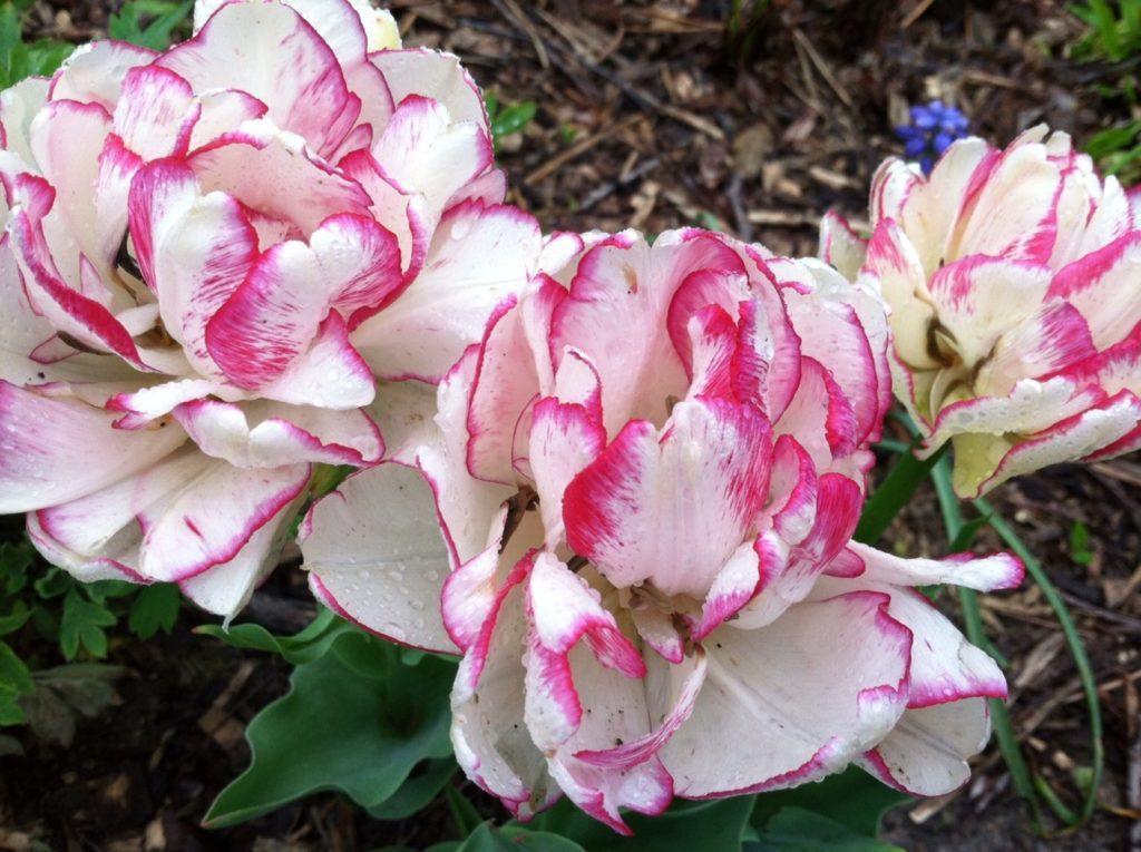 На фотографии вы видите представителя сорта махровых тюльпанов – Belicia, с необычным пушистым цветком белого цвета с ярко-розовой каймой