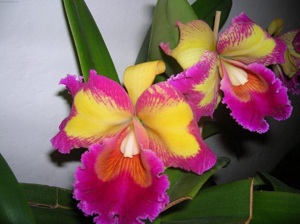 На фотографии вы видите прекрасную представительницу орхидей вида Каттлея