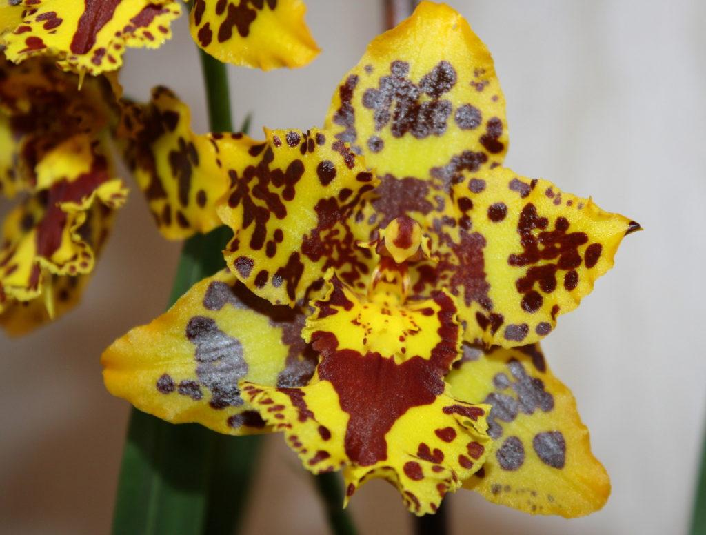 Неужели можно остаться равнодушным, взглянув на Тигровую орхидею Одонтоглоссум