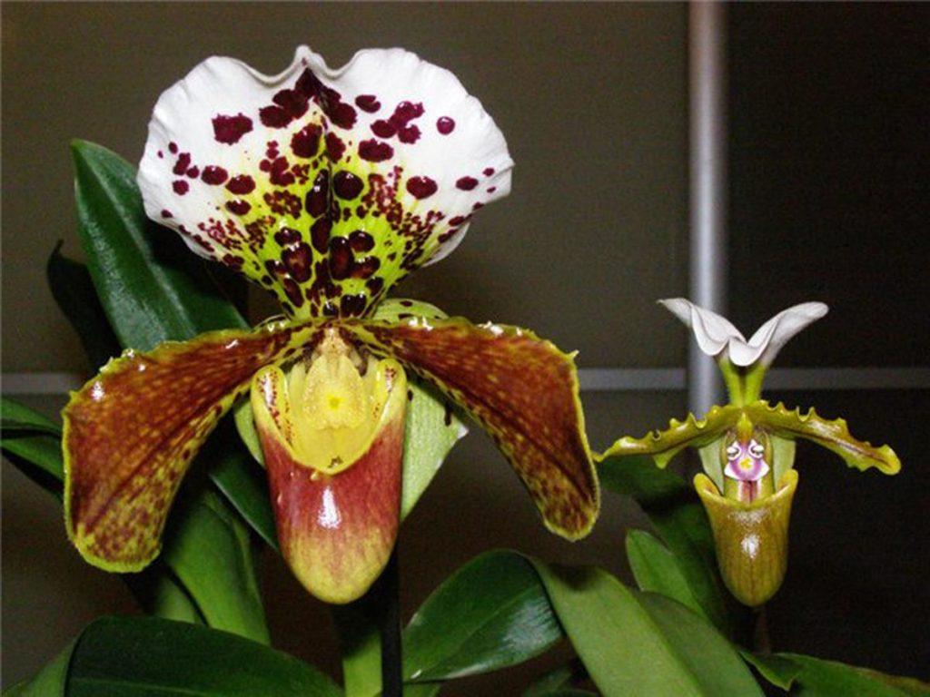 Очень ценится разводчиками орхидей, орхидея Венерин башмачок или Пафиопедилум