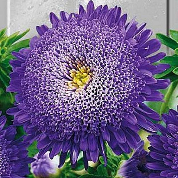 Они также имеют несколько рядов, состоящих из язычковых цветков, которые длиннее трубчатых. Венечная астра сорта Принцесса