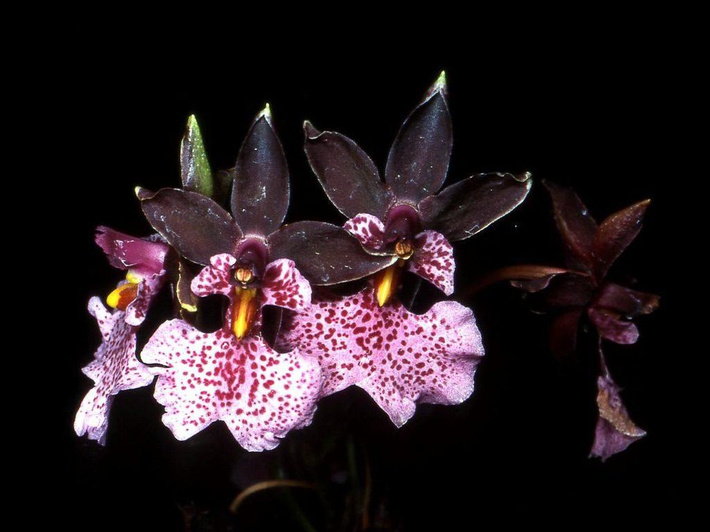 Орхидеи в теплице выращивание и уход, процесс хоть и трудоёмкий, но представив таких красавиц в своей теплице, заслуживает этого