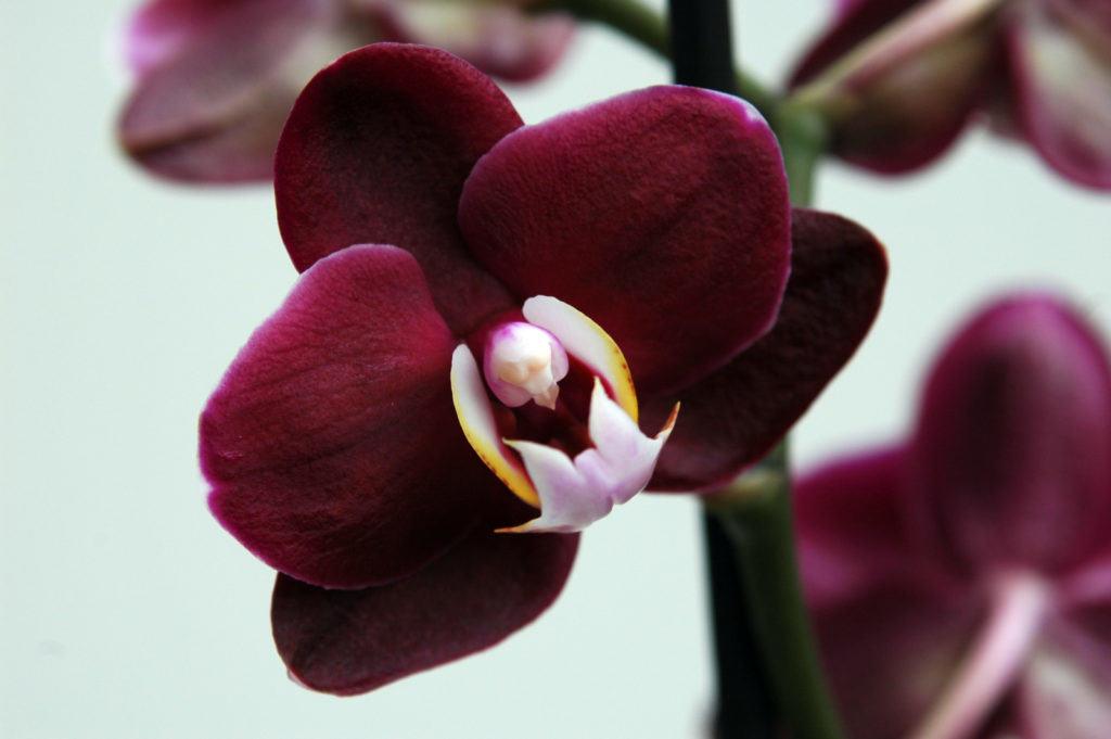 Орхидея фаленопсис с округлыми бархатно-бордовыми лепестками, подарит своему обладателю хорошее настроение и гордость