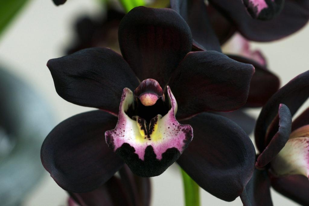 Орхидея сорта Такка имеет необычный загадочный окрас цветков, практически чёрный, что очень понравится людям, которые любят мистику и тайны