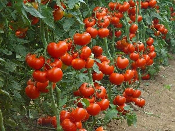 Помидоры – любимый овощ огородников, но он требует особого подхода.