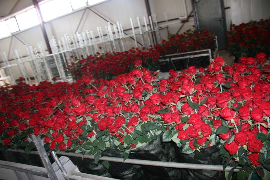 Прекрасные красные розы – символ любви и признания, поэтому они никогда не выйдут из моды, и покупатели на эти цветы будут всегда