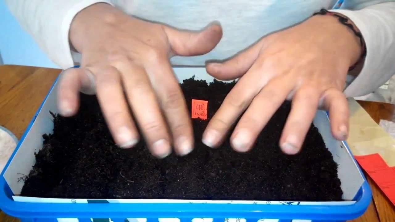 Когда сажать цветную капусту на рассаду в 795
