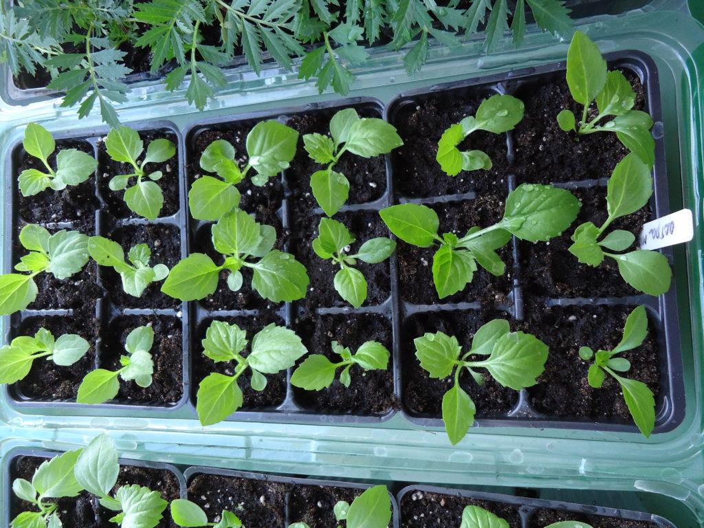 Рассаду астр лучше выращивать в отдельных контейнерах, которые в большом ассортименте можно найти в любом специализированном магазине