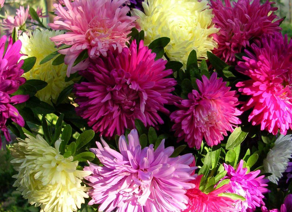 Разноцветные цветки астр, станут достойным украшением любого дома, как сами, так и в букете, соседствуя с другими, не менее красивыми цветами
