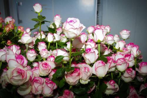 Разные сорта гибридных роз имеют различные цвета и оттенки, но не обязательно, что у вас будет именно такая расцветка, вы можете получить совершенно новый оттенок цветков