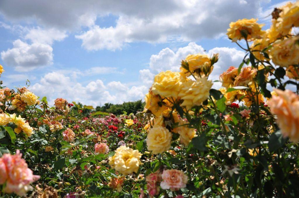 Садовые розы различных видов и сортов, радуют взоры практически в каждом дворе или приусадебном участке