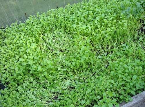 Сидераты в теплице обогащают почву питательными веществами и успешно борются с патогенными грибами, бактериями и микроорганизмами.