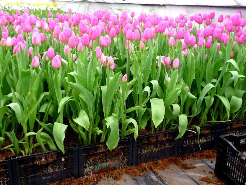 Только приложив усилия, вы получите большой урожай красивых цветов, но какое же наслаждение вы получите, когда пойдут бутоны и начнут расцветать тюльпаны