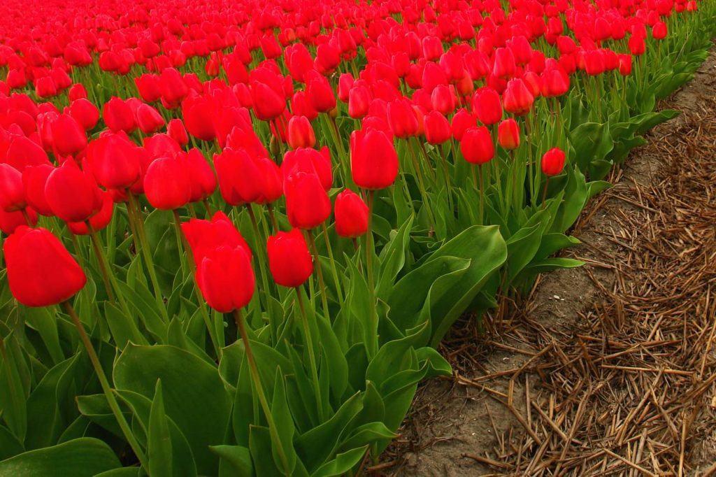 Традиционные красные тюльпаны, это символ праздника и любви, поэтому выращивая цветы на продажу, не забудьте посадить ряд этих замечательных растений