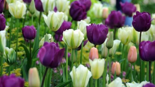 Тюльпаны могут иметь совершенно невообразимые цвета и оттенки цветков, также они насчитывают сотни различных видов лепестков и цветков