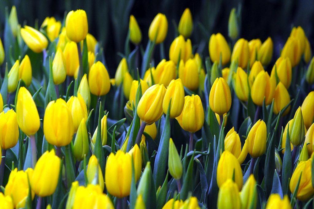 Тюльпаны насчитывают тысячи видов и сортов, и это далеко не предел, так как этот цветок очень любим садоводами всего мира, они выращивают новые сорта и экспериментируют с расцветкой