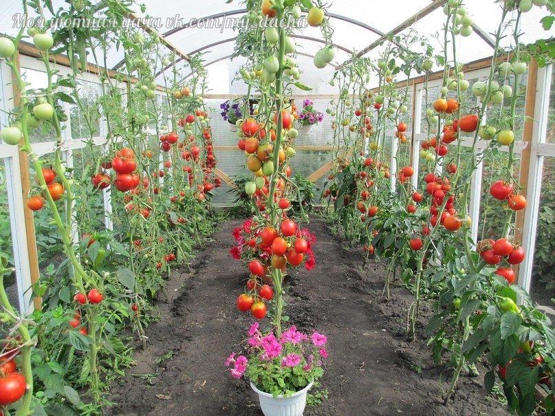 Удаление основной массы листьев в период созревания томатов – один из способов борьбы с вредоносными бактериями.