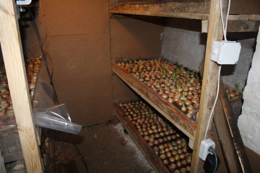 Вы видите пример выращивания лука в подвале дома на деревянных стеллажах