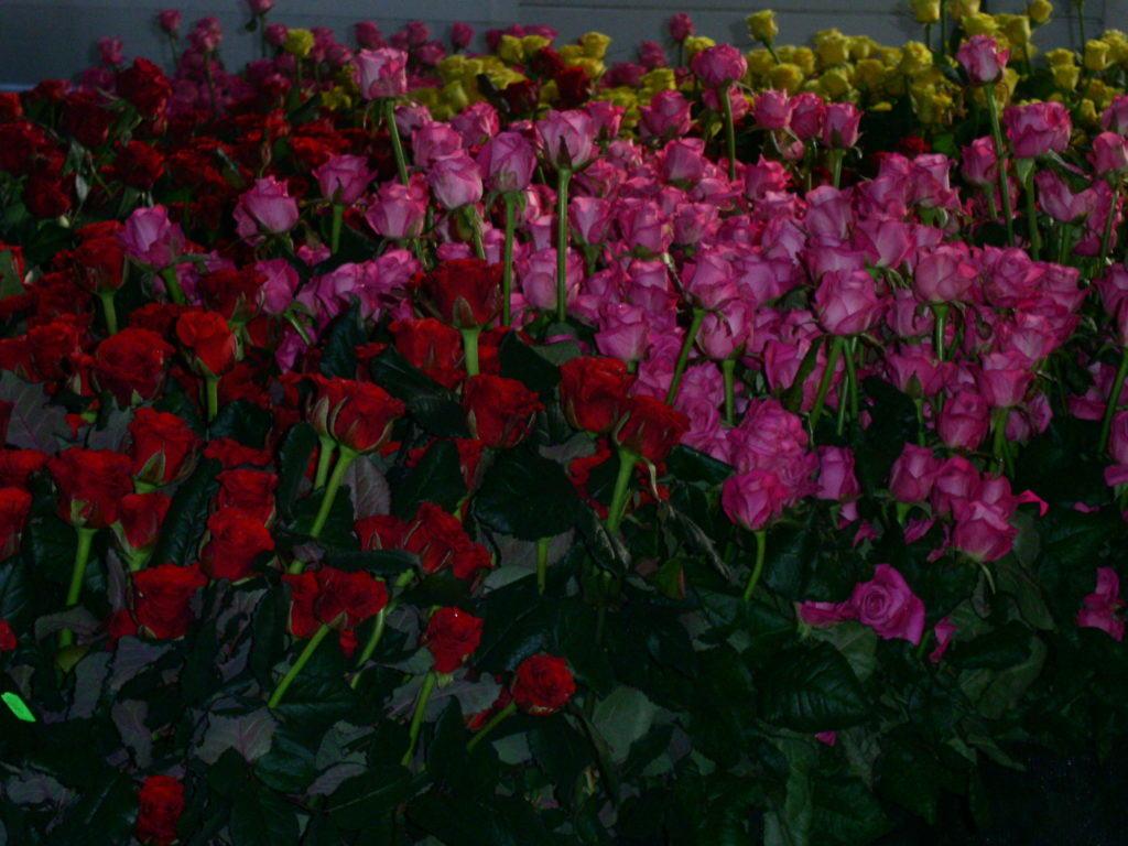 Выращивание голландских роз в теплицах мало чем отличается от выращивания других видов цветов в тепличных условиях