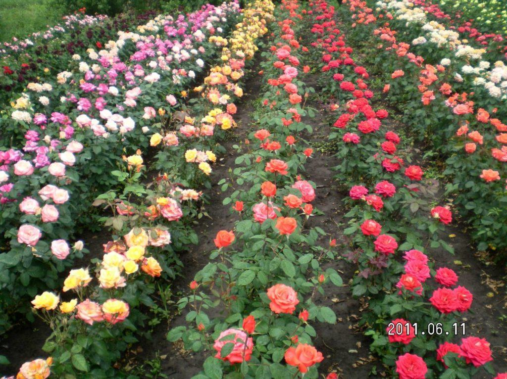 Выращивание роз в теплице бизнес прибыльный, при условии, что вы правильно будите растить, беречь и ухаживать за капризной королевой цветов